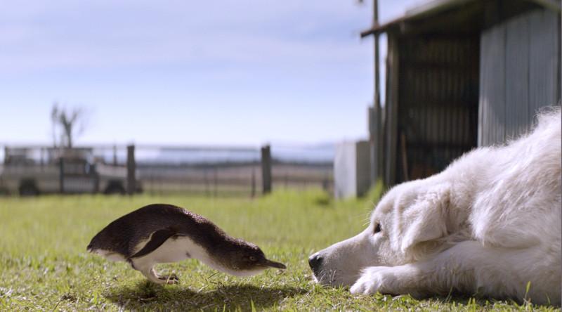 Hirtenhund Oddball soll eine Brutkolonie von seltenen Zwergpinguinen vor Füchsen beschützen. (© Universum Film)